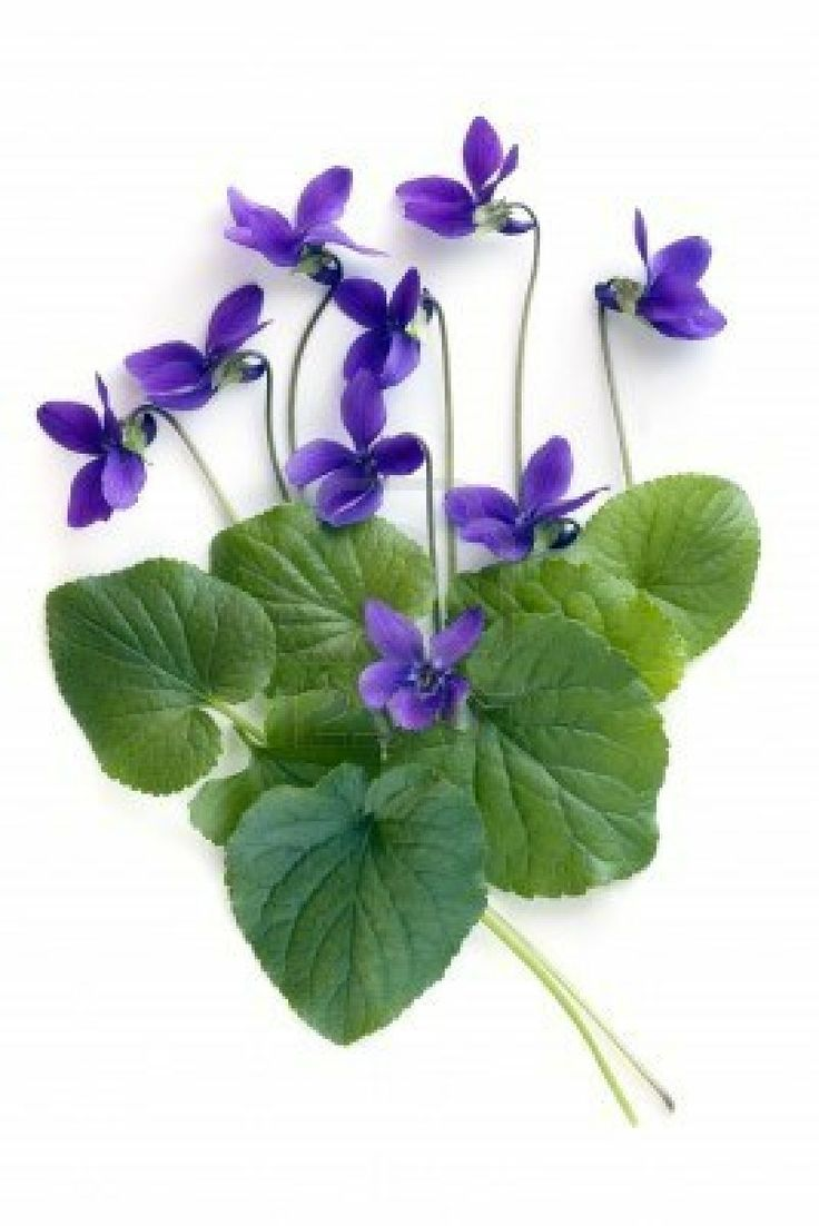I Am Confused About The Differences Among Pansies, Violas & Violets:  Wikipedia: