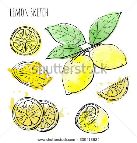 Lemons, hand-drawn. Vector sketch of lemons with watercolor texture on a white background.
