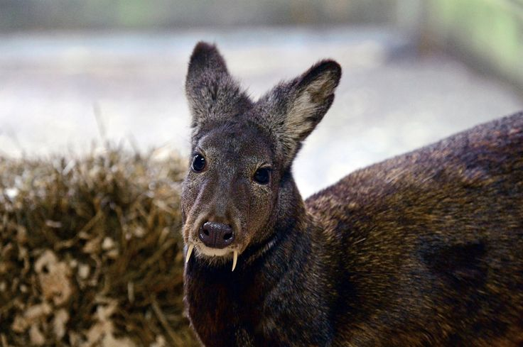 Just in time for Halloween, researchers find that a Vampire-like deer had avoided extinction against all odds.