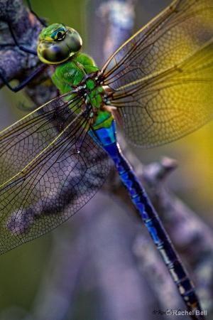 Dragonfly by Eva0707