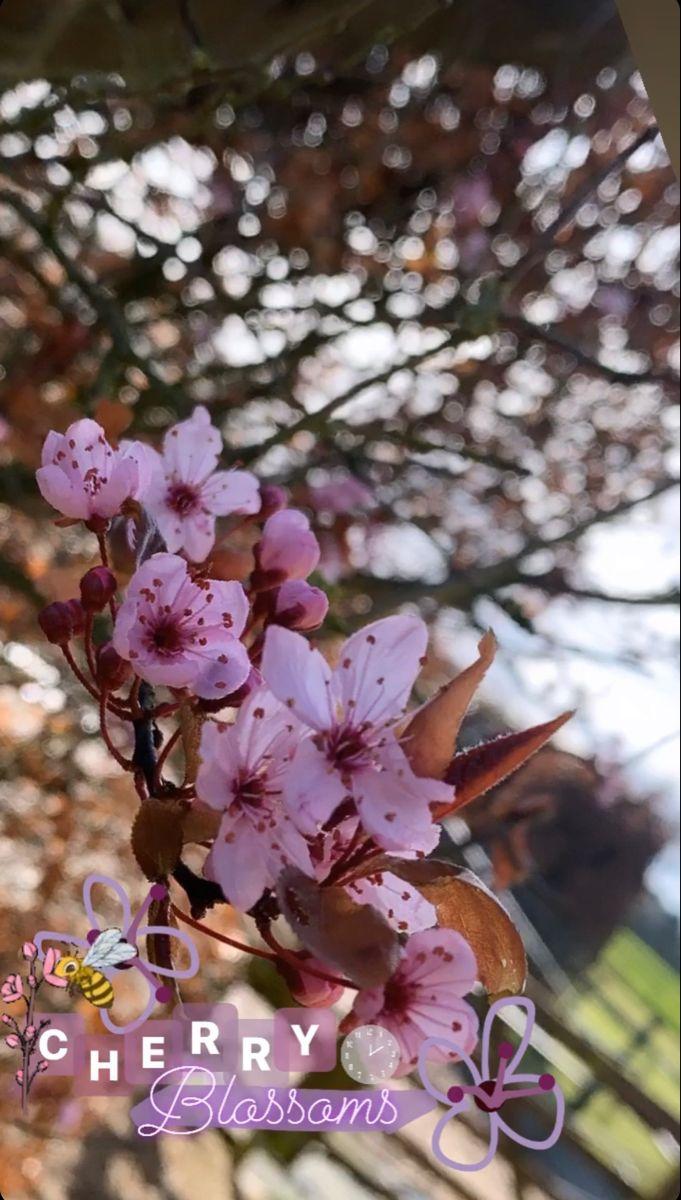 Cherry Blossoms Instagram Story Ideas Instagram Story Instagram