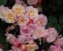 1.50 rechtopgroeiend    Rosa 'Apricot Bells'    Heesterroos, doorbloeiend  abrikoosgeel  hoogte: 150 cm.  geurend jong loof is roodbruin  zonnig  APRICOT BELLS Een verrassende struik met halfgevulde komvormige bloemen die veranderen van kleur doorheen de bloeiperiode. Ze beginnen abrikoos in de bloemknop, zijn licht abrikoos-crème bij het ontluiken en verbloeien naar roze. Apricot Bells is het resultaat van een kruising tussen TRIER en de Chinese roos MUTABILIS. Deze