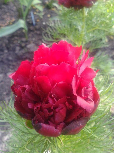 tenuifolia rubra plena paeonia - majreg