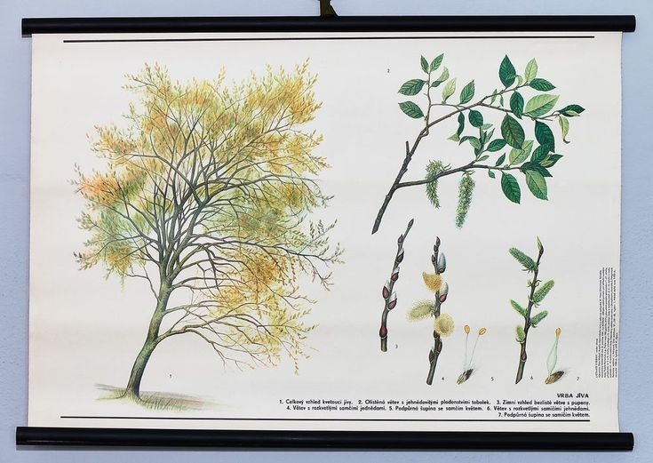 Pussy willow tree vintage school wall chart botanical original. Rare home poster #Vintage