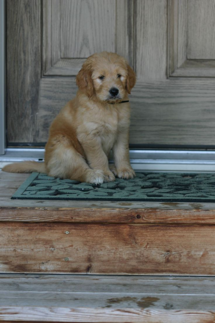 I will find one of these, and it will be ours!! A forever love for our family. My dream is to have a goldendoodle for me and the kids :)