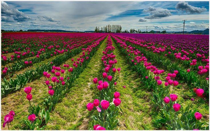 Red Tulip Flower Field Wallpaper   red tulip flower field wallpaper 1080p, red tulip flower field wallpaper desktop, red tulip flower field wallpaper hd, red tulip flower field wallpaper iphone