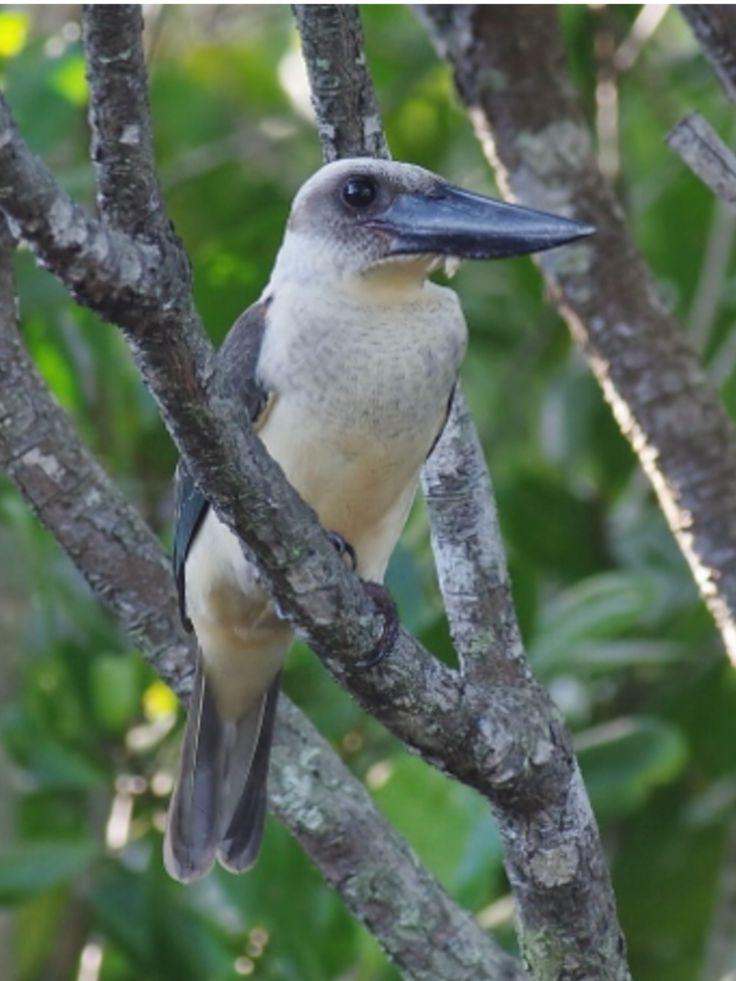Great-billed Kingfisher: Sulawesi, ID   Birdtour Asia Facebook, (c) Mike Nelson-Birdtour Asia, surfbirds.com