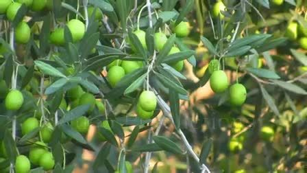 Olive Trees for Sale at the Lowest Prices at Ty Ty Nursery