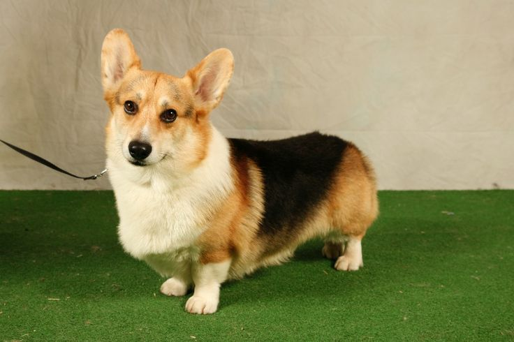 club de race welsh corgi
