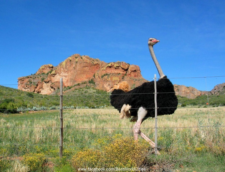 Ostriches are farmed near Oudtshoorn, South Africa