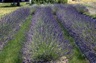 Woodinville Lavender