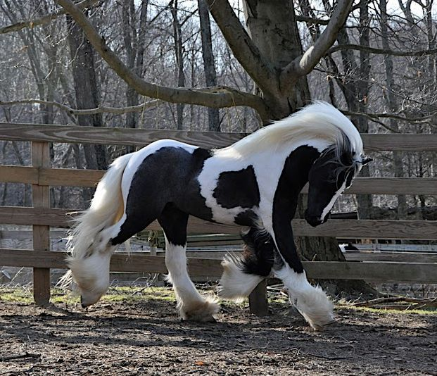 Peppermint | Westmoreland Gypsy Vanner Horses For Sale