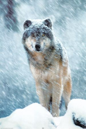 Gray Wolf: Wild Animal, Grey Wolf, Winter, Gray Wolf, Grey Wolves, Snow, Dog, Wolf Picture