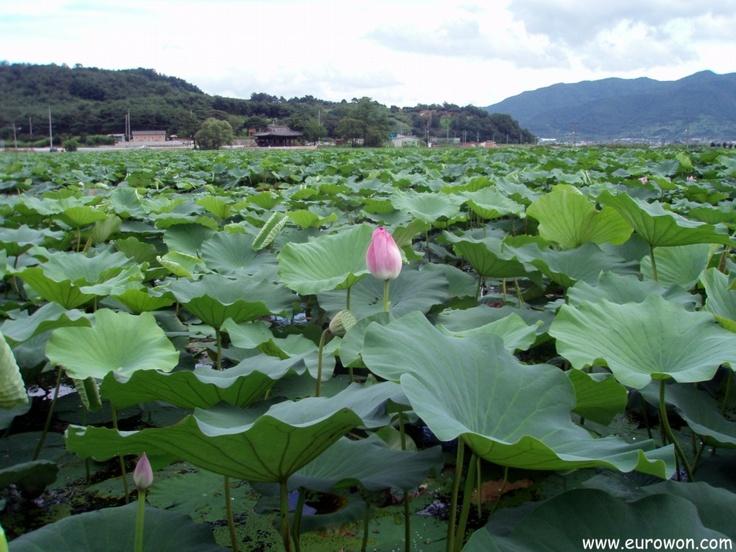 Un estanque de lotos en Corea, creado de forma natural.