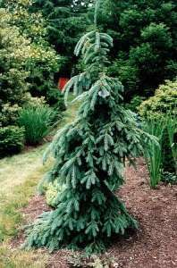 glossary evergreen trees spruce weeping white:Latin Name: Picea glauca 'Pendula'  Summer Foliage: Blue Green  Winter Foliage: Blue Green  Height: 30 to 40ft  Spread: 10 to 15ft  Water Use: Low to Medium  Sun: Full  Flowers: Insignificant  Shape: Weeping/Narrow Pyramidal  Fruit: Cones/Insignificant  Notes: Makes a great evergreen specimen in a shrub area