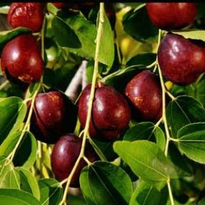 "Jujube ""Li"" has large brown fruit, sweet and crisp. Jujubes aka Chinese dates do best when you plant two varieties for pollination. This variety is hardy to zone 5."