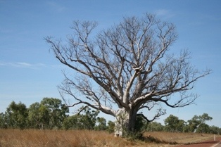 Kimberley Boab tree: During my first year in Australia I was on my way around the whole continent. All the places were great but the Kimberley was the wildest and most impressive