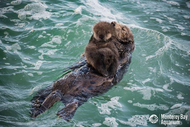 En Californie, les visiteurs et les membres de l'équipe de l'Aquarium de la baie de Monterey ont pu assister à un spectacle rare. Samedi soir, une loutre de mer a accouché sur un rocher, situé auto…