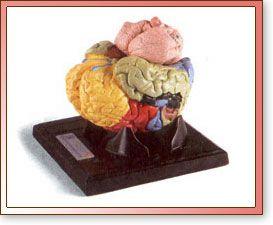 Cerebro Dividido en Cinco Partes