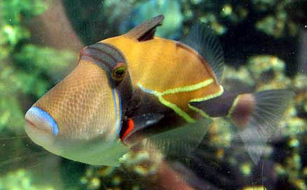 The Reef Triggerfish is also called the Rectangular Triggerfish, Wedge-Tail Triggerfish, and the Humu Humu. Along with the Picasso Triggerfish, which it gets confused with often, the Reef Triggerfish is the state fish representing Hawaii: Humuhumu-nukunuku-apua'a. Now say that three times fast!