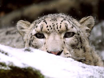 playing in the snow | Shelby, a 3-year-old female snow leopard from the Bronx Zoo's ...