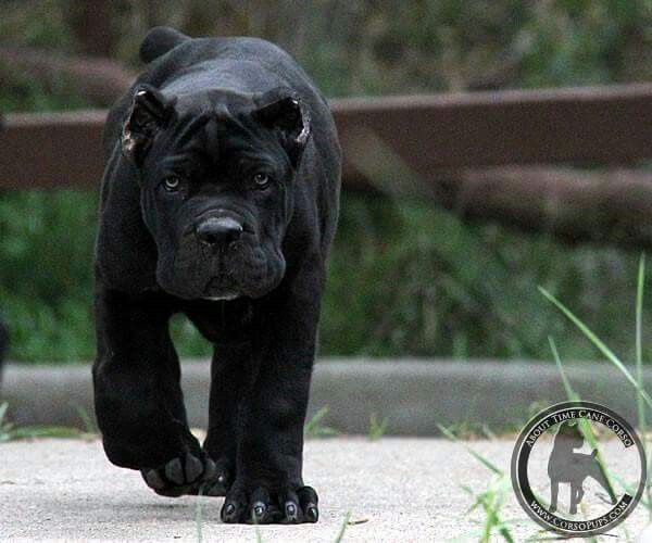 #Cane #Corso can't wait till babe and I have one of these running around