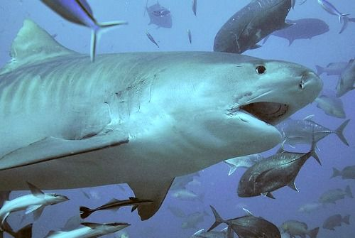 Grey reef sharks, nurse sharks, and lemon sharks, tawny nurse, white-tip, black-tip, grey reef, sicklefin lemon, silvertips. also massive bull sharks, and the most feared, tiger sharks can all be spotted in the waters of Fiji.