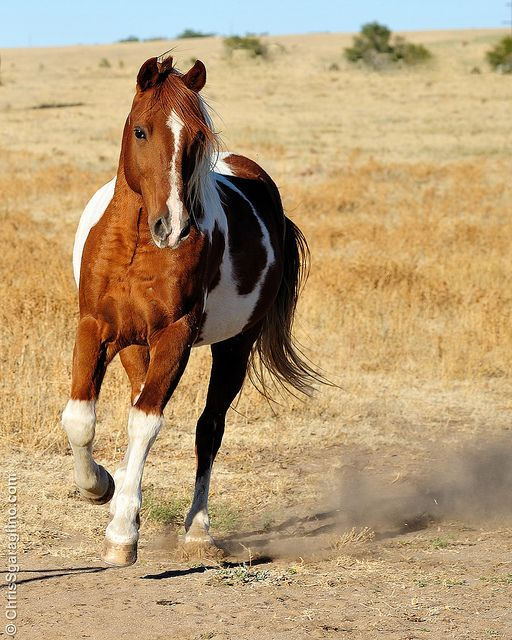 Gorgeous Wild Chestnut Paint Mustang. Looks Like He's About to Take-Off Running.