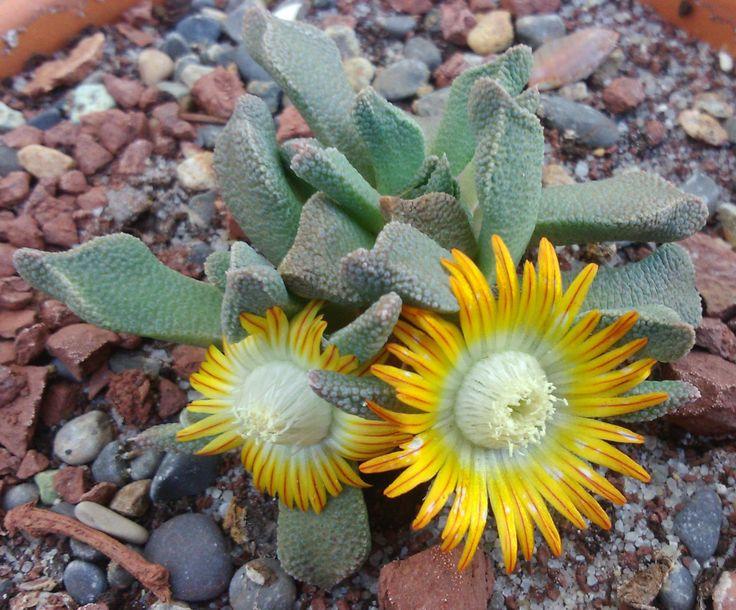 Nananthus vittatus cactus y suculentas pinterest for Feroxcactus chile