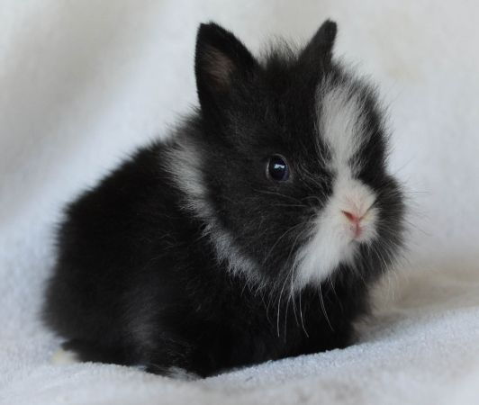 dwarf sized lionhead baby bunny Animals Pinterest