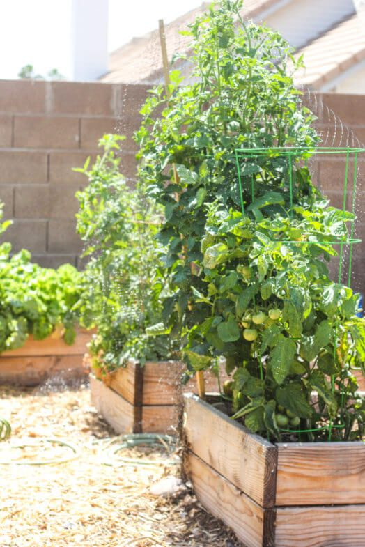 tomato stalks and other plants growing out of wooden garden boxes in full sunlight