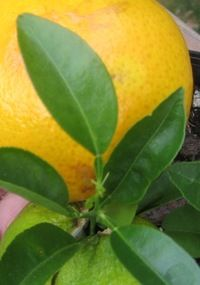 how-to for that popular 'lemon plant from seeds' pin (that has no text instructions to accompany the pretty image).