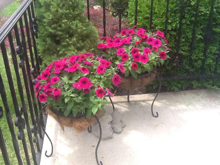 17 best images about container gardening on pinterest gardens window boxes and fall containers - Growing petunias pots balconies porches ...