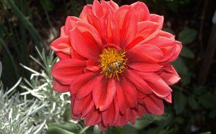 Beautiful coloured dahlia