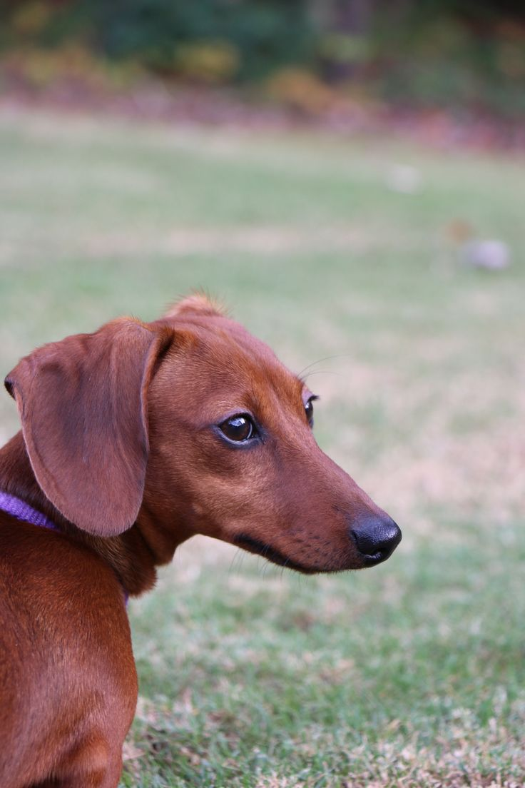 Our sweet Chloe! Red Short-haired Dachshund, Doxie, Weiner Dog, Hound, Burrow Dog, Short-legged Dog.
