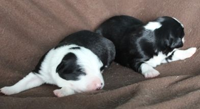 I had the first male pick of the litter. Here are the two boys and I chose the white faced little one.
