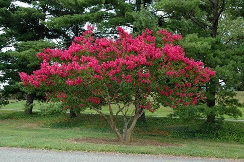 04. Extremosa ou Resedá: Lagerstroemia indica. É uma linda arvoreta muito utilizada na arborização urbana. Tem florescimento esplendoroso, é decídua e tolerante a podas drásticas. Atinge até 8 metros de altura.