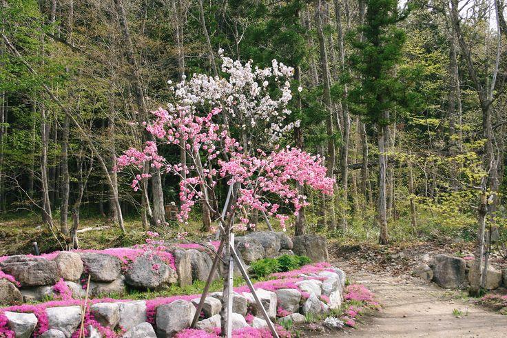 2010 May 花桃(バラ科) 本堂裏に咲くピンクの花桃。後ろの白っぽい花は八重桜です。