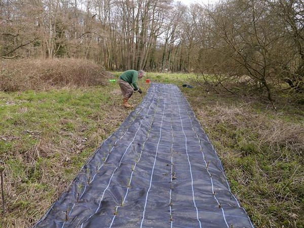 Hunt Nature Park, Shalford. An Osier bed being planted. An Osier bed is where historically willows were planted and coppiced to produce withies which were used for basket making, fish-traps, and other purposes. March 2014.