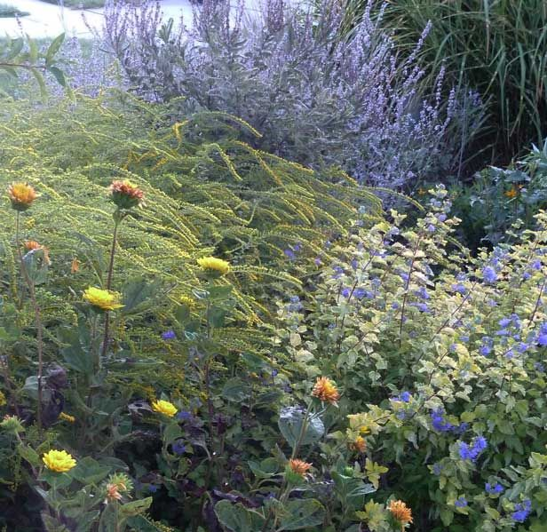 Helianthus multiflorus 'Sunshine Daydream', with Solidago rugosa 'Fireworks', Caryopteris incana 'Jason', Amorpha canescens, Perovskia atriplicifolia, Miscanthus sinensis 'Zebrinus'