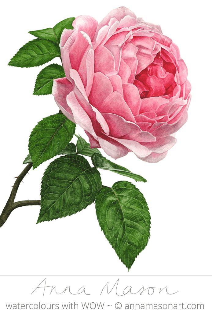 "Pink Rose © 2009 ~ annamasonart.com ~ 31 x 41 cm (12"" x 16"") #AnnaMasonNewSite"