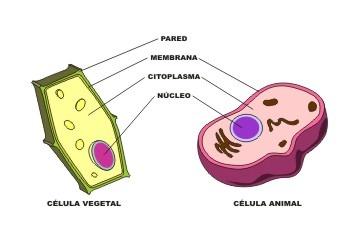 Célula animal y vegetal. Comparativa / De intef:Instituto Nacional de Tecnologías Educativas y de FP; Ilustrador:José Alberto Bermúdez