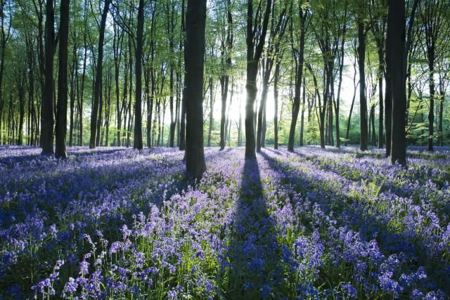 Where To See Dazzling English Bluebells Burst Into Bloom: Micheldever Wood in Hampshire