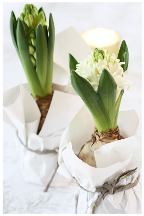 Bulbs in jars with tissue...as gifts for the Holidays or when ever. YES