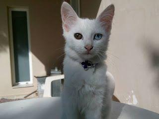 Χάθηκε μικρη φουντωτη άσπρη γατα στην περιοχή Ν. Βουτζάς. Το ένα της μάτι είναι καστανο και το αλλο γαλαζιο. Όταν χαθηκε φορουσε ενα μαυρο λουρακι.