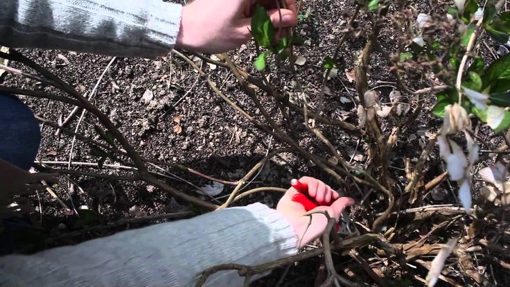 Les 25 meilleures id es de la cat gorie comment tailler les hortensias sur pinterest tailler - Faut il couper les fleurs fanees des hortensias ...