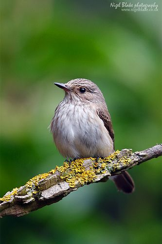 spotted flycatcher | Spotted Flycatcher, Muscicapa striata