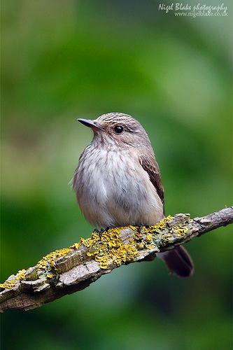 spotted flycatcher   Spotted Flycatcher, Muscicapa striata