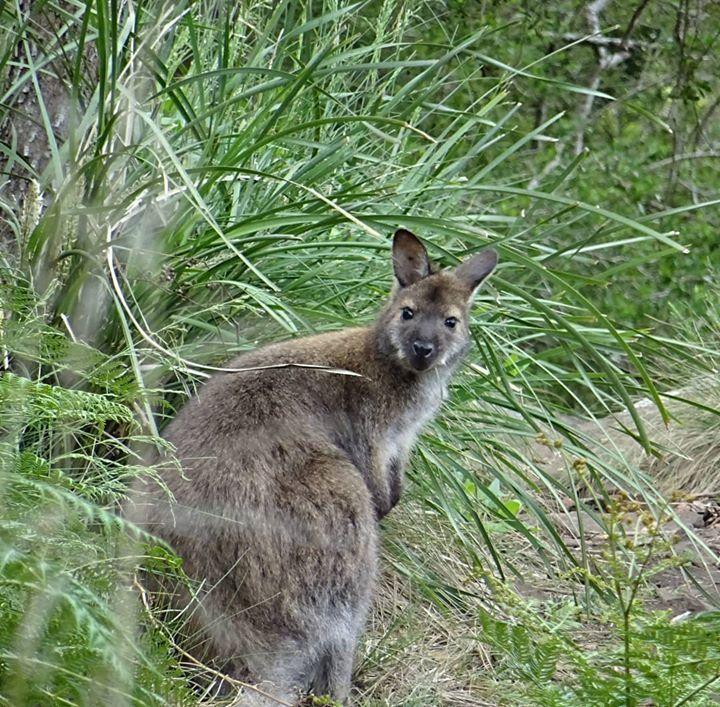 Ift Tt 2owhwxw Moin Diggi Tasmanien Tasmania Wallaby Wallabies Tasmania Wallaby Animals