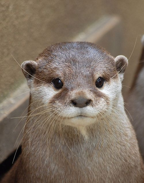 Cute Baby Sea Otter